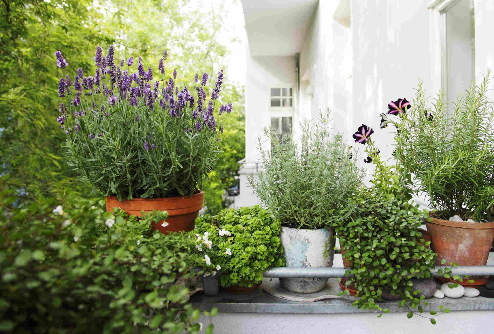 Überwinterung von Balkonpflanzen