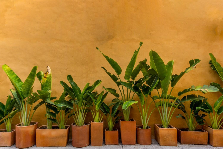 Bananenpflanze überwintern