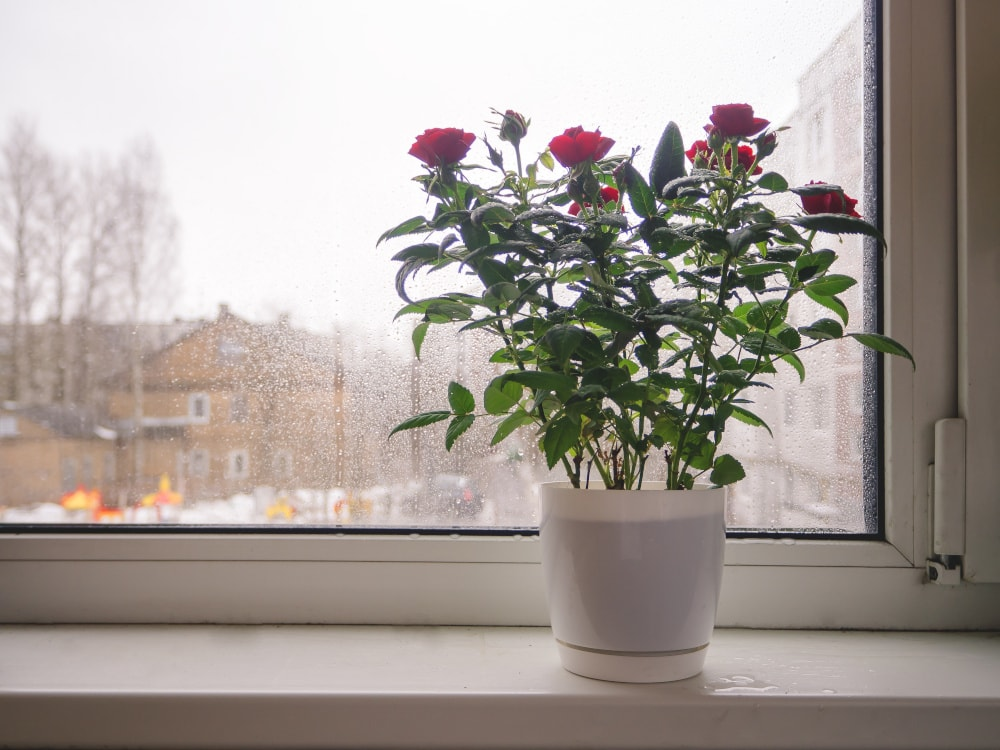 Rose im Winter ans Fenster