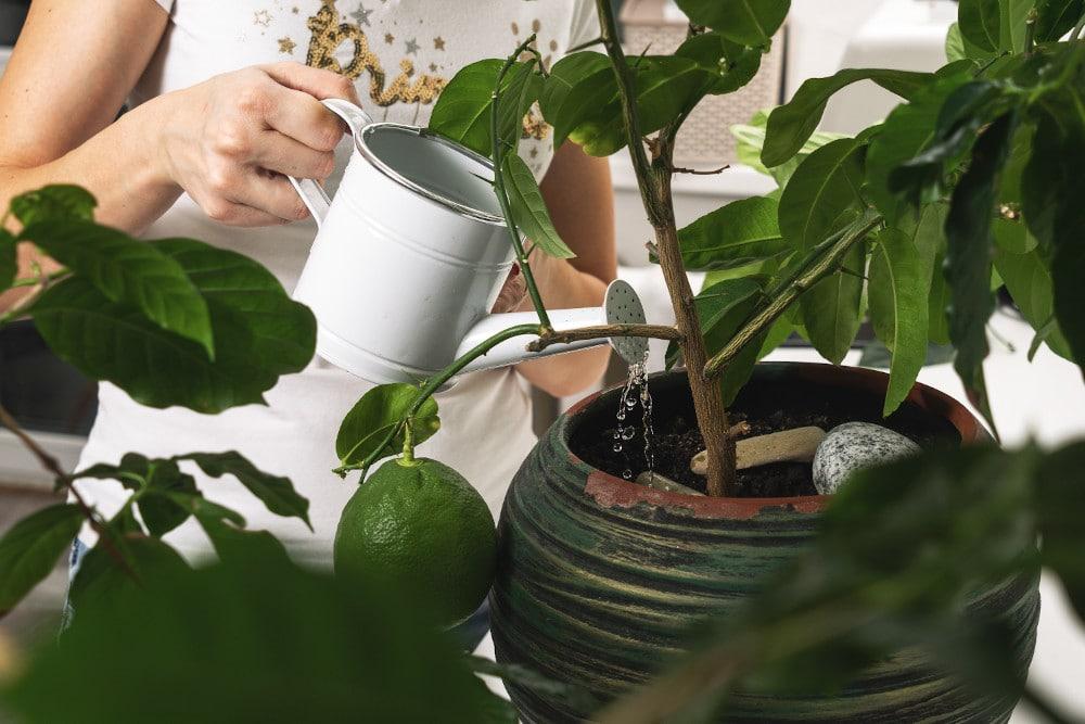 Gießen des Zitronenbaums