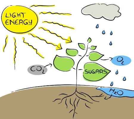 Fotosynthese bei der Pflanze