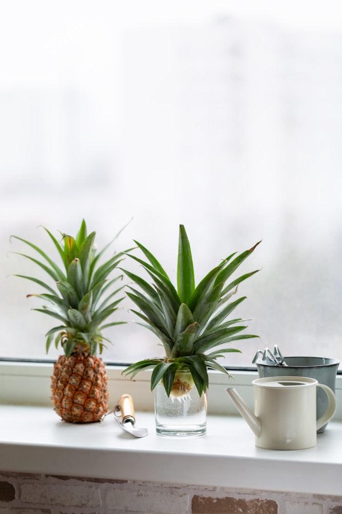 Ananas selber züchten