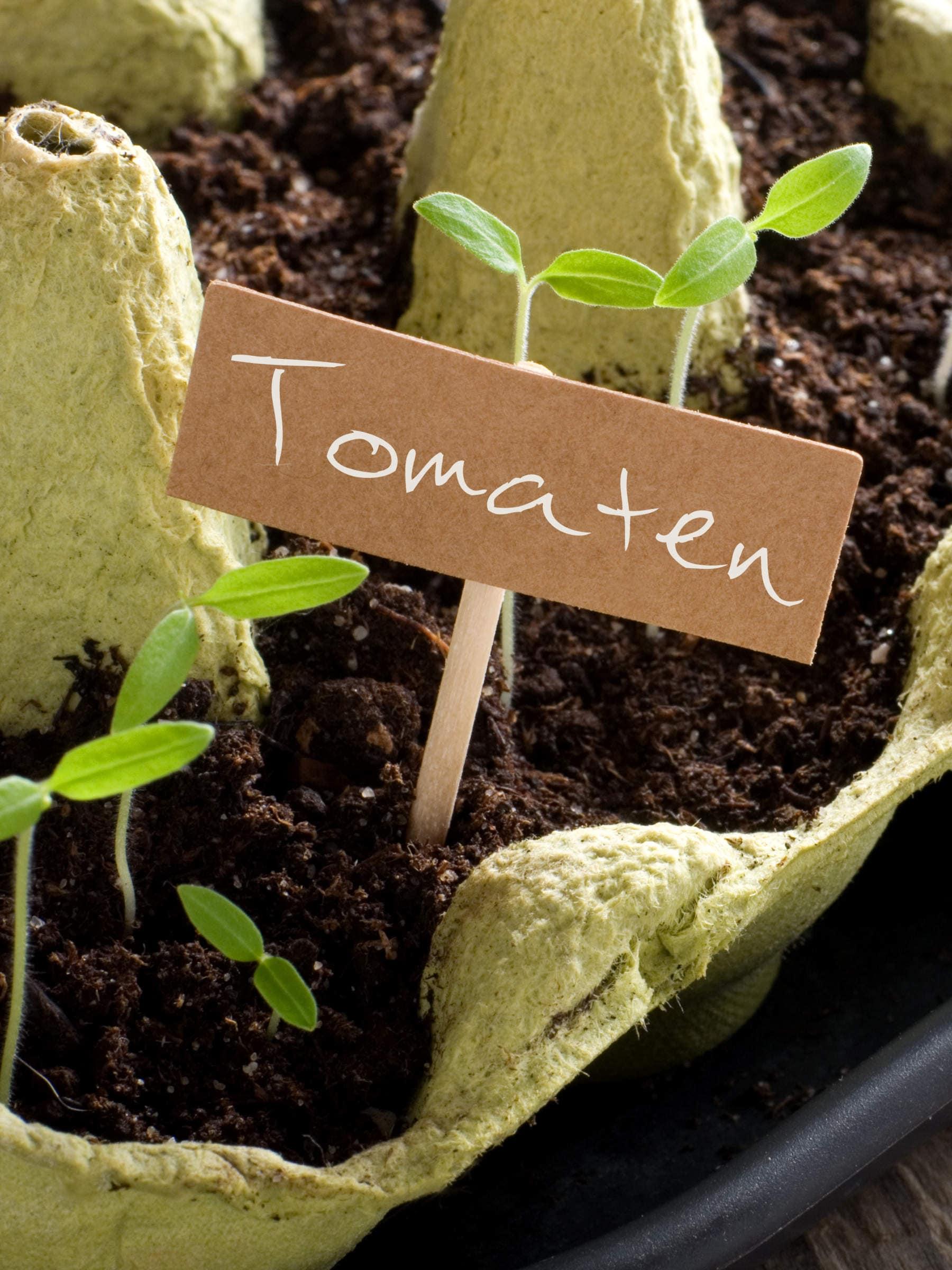 Tomaten vorziehen Eierkarton