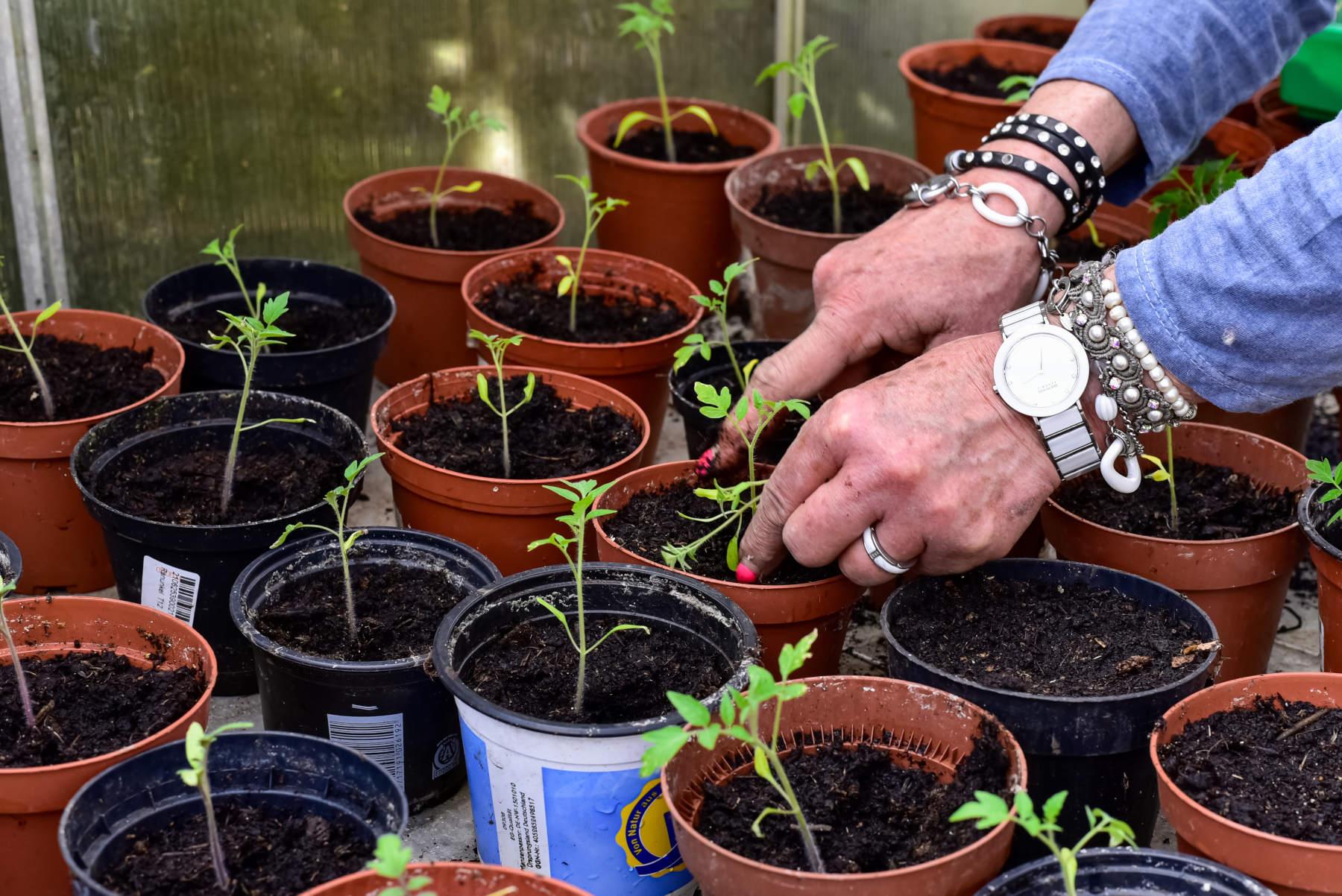 Mehrere Tomaten pikieren