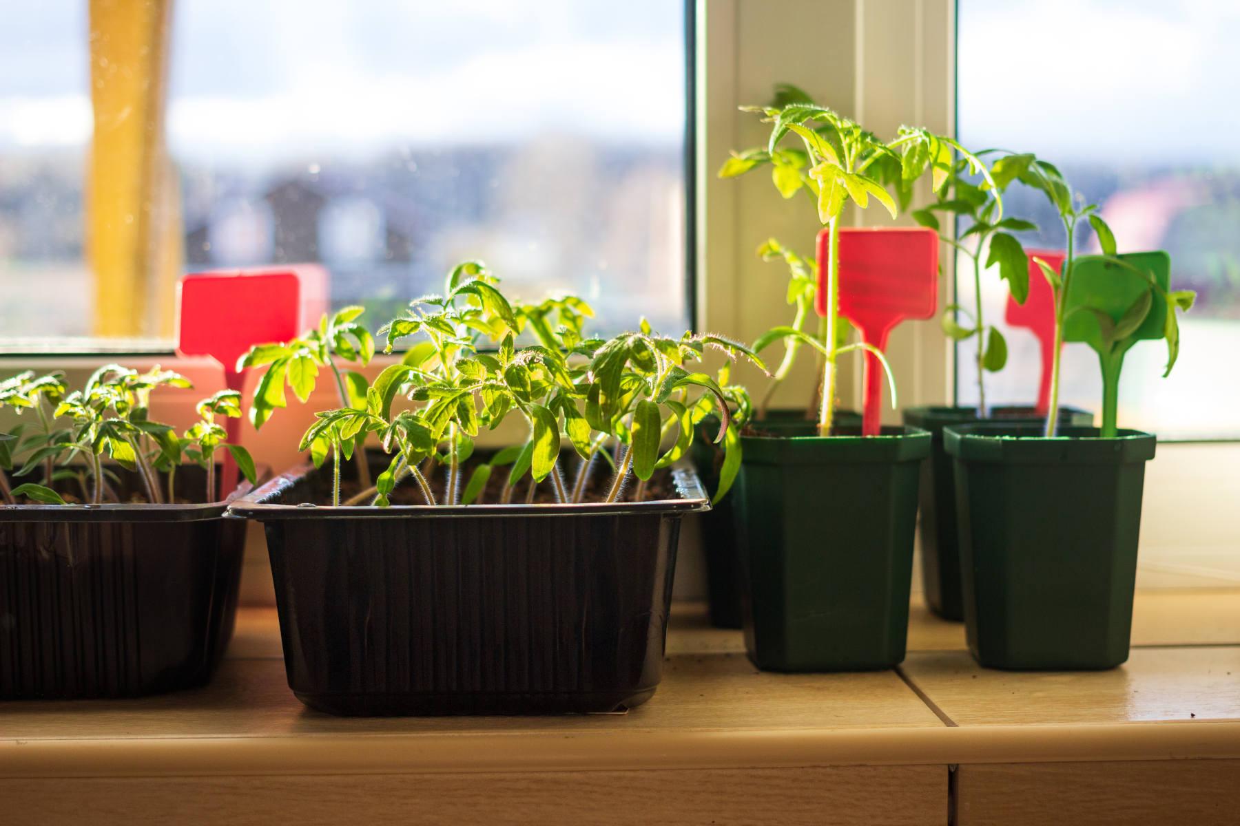 Tomaten vorziehen auf Fensterbank
