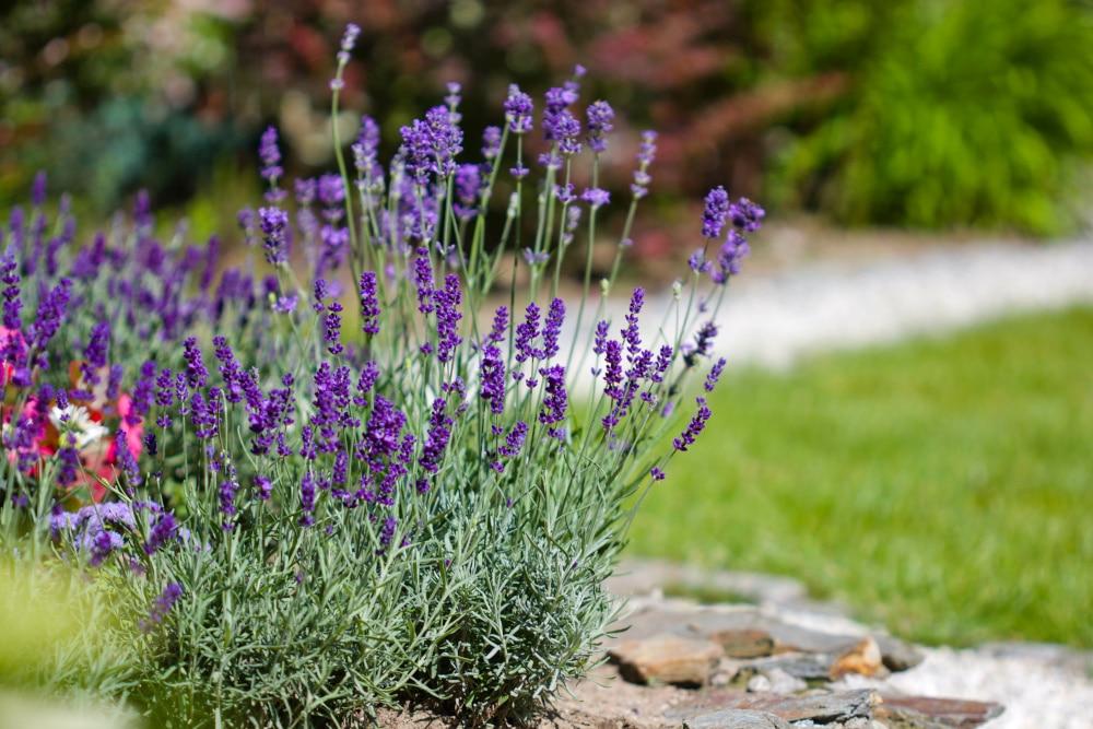 Lavendelstrauch im sonnigen Garten