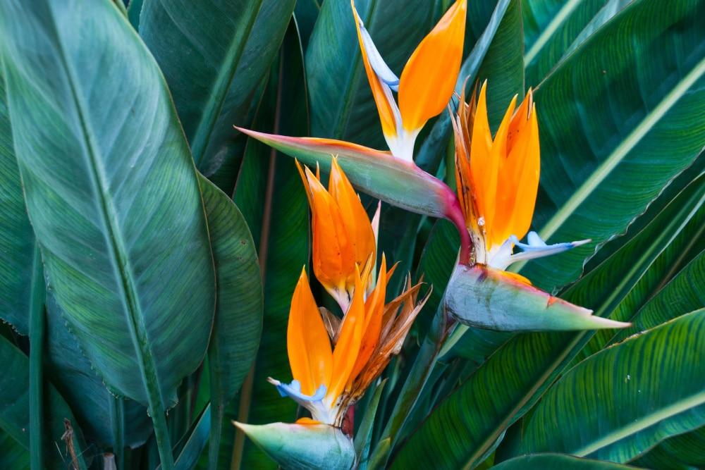 Blüte der Strelitzie - Paradiesvogelblume