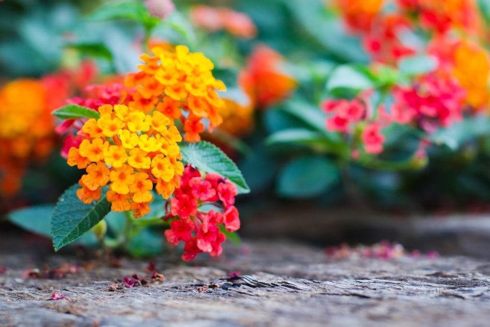 Wandelroeschen im Garten