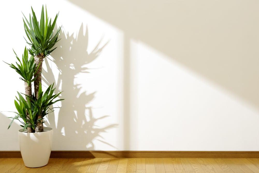 Yucca-Palme an sonnigem Fenster