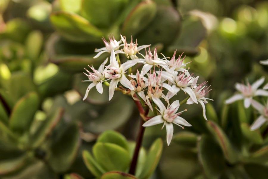 Geldbaum-Blüten im Garten