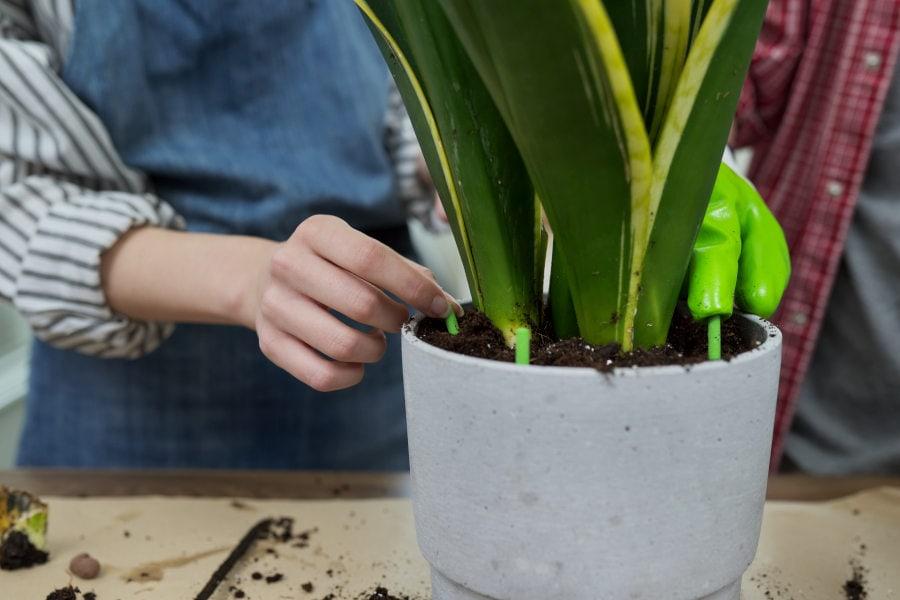 Schädlinge an einer Zimmerpflanze bestimmen