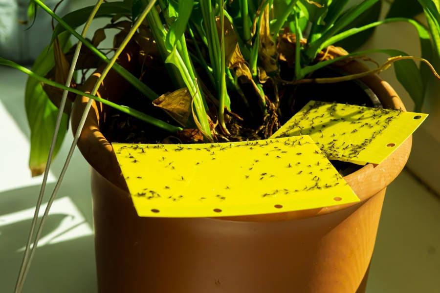 Trauermücken auf einer Gelbtafel-Falle